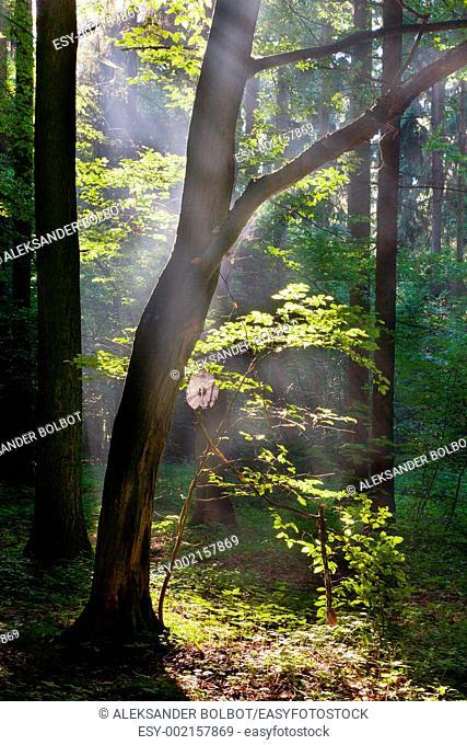 Sunbeam entering rich deciduous forest, Bialowieza Forest, Podlasie Province, Poland