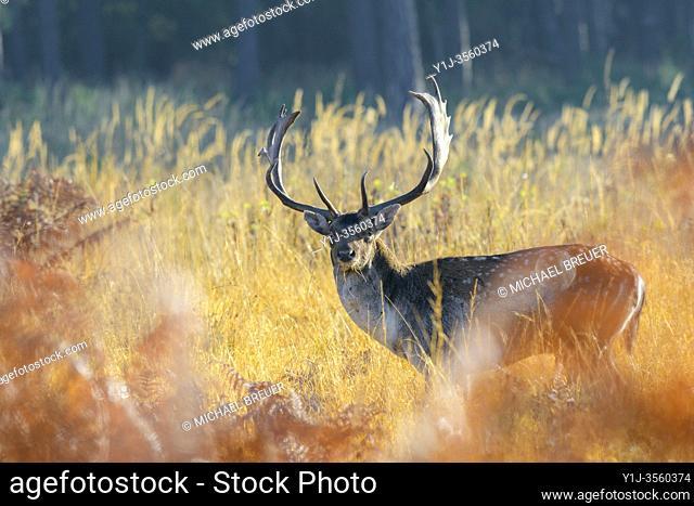 Fallow deer in autumn (Cervus dama), Germany, Europe