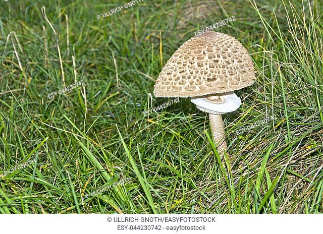 Parasol mushroom or Macrolepiota procera