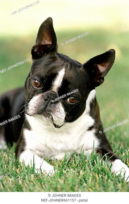 Boston terrier, Sweden