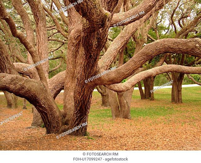 FL, Florida, Fort Matanzas National Monument, live oak trees