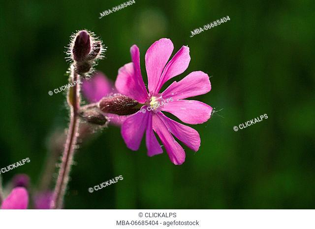 Primula glutinosa Wulfen, Primulacee family Lombardy Italy Europe