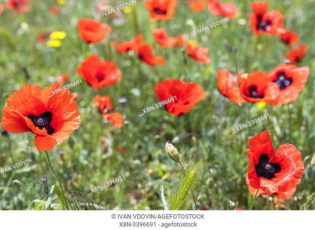 Red poppy field, West Azerbaijan Province, Iran