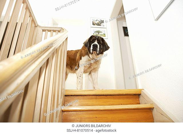 St. Bernard Dog. Adult dog standing on a staircase. looking down. Germany