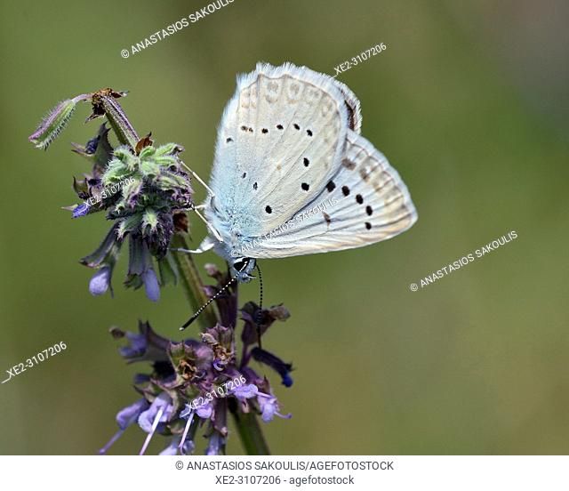 Meleageria daphnis - Meleager's Blue, Greece