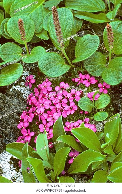 Moss campion Silene acaulis, an alpine flower, Alaska, USA