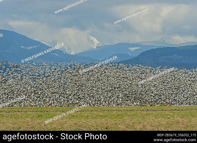 A flock of Snow geese (Chen caerulescens) is flying over fields in the Skagit Valley near Mount Vernon, Washington State
