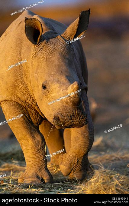 Africa, Namibia, Private reserve, White rhinoceros or square-lipped rhinoceros (Ceratotherium simum) , young, captive
