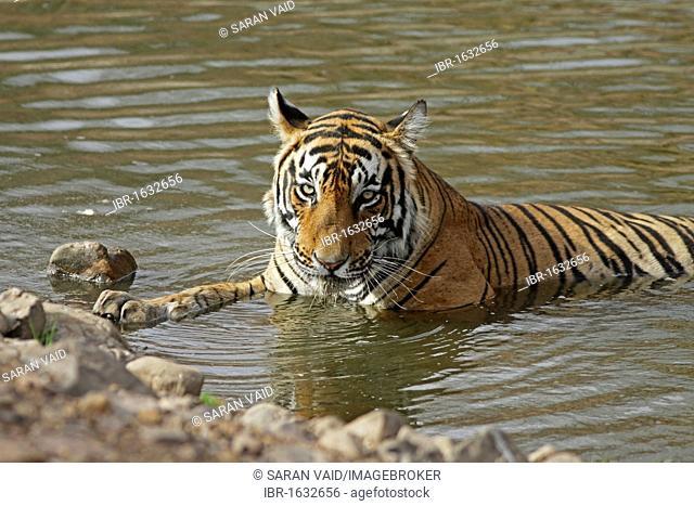 Tiger (Panthera tigris), resting in water, Ranthambore National Park, Rajasthan, India, Asia