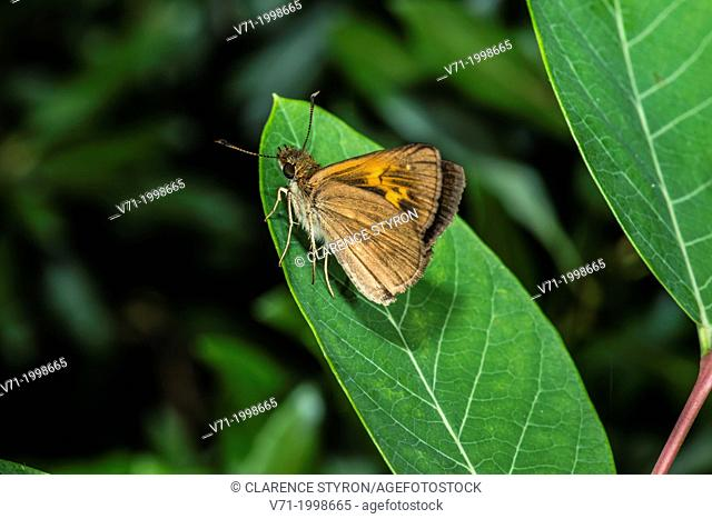 Broad-winged Skipper Butterfly Poanes viator on Indian Hemp Apocynum cannabinum in Corolla, NC USA