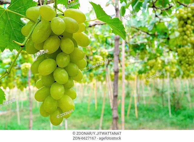 Green grapes in vineyard