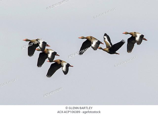 Black-bellied Whistling Duck (Dendrocygna autumnalis) flying in the Pantanal region of Brazil