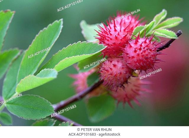 Spiny Rose Gall