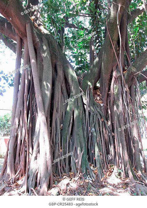 Ficus religiosa, Brick wall, tree roots, São Paulo, Brazil