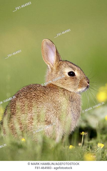 Rabbit (Oryctolagus cuniculus), youngster resting in sun. Scotland. July 2005