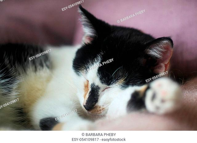 Young Calico Cat Sleeping On A Pink Sofa