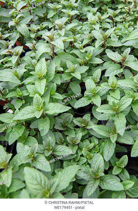 Fresh green mentha piperita leaves full frame kitchen garden