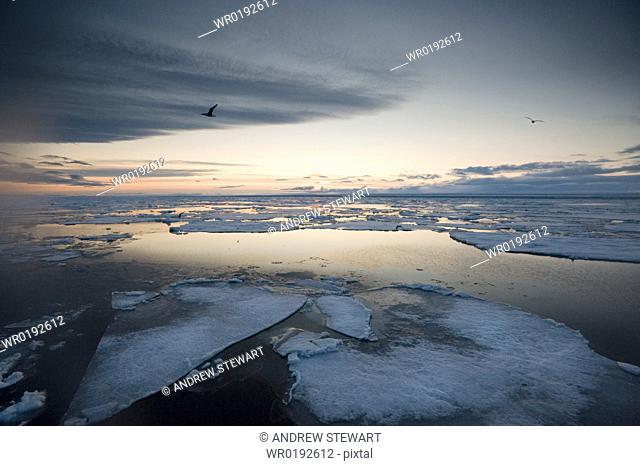 Arctic Pole, ice sheets, evening, feeding guls and Kittywakes Longyearbyen, Svalbard, Norway
