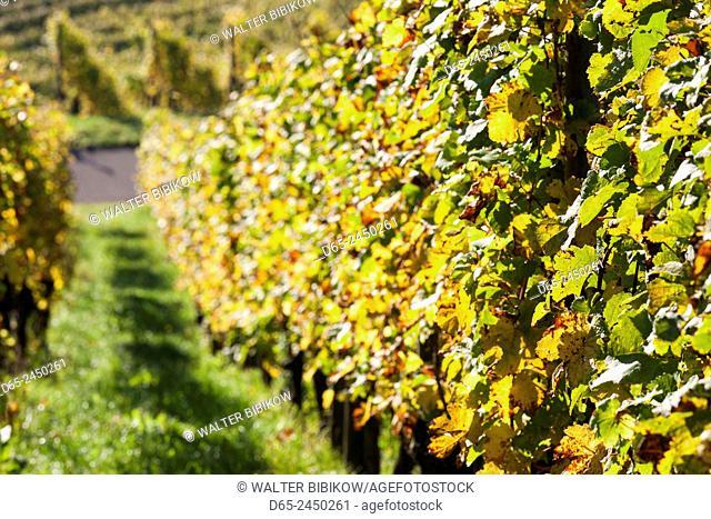 Germany, Baden-Wurttemburg, Stuttgart-Uhlbach, vineyards above Unter-turkheim, fall