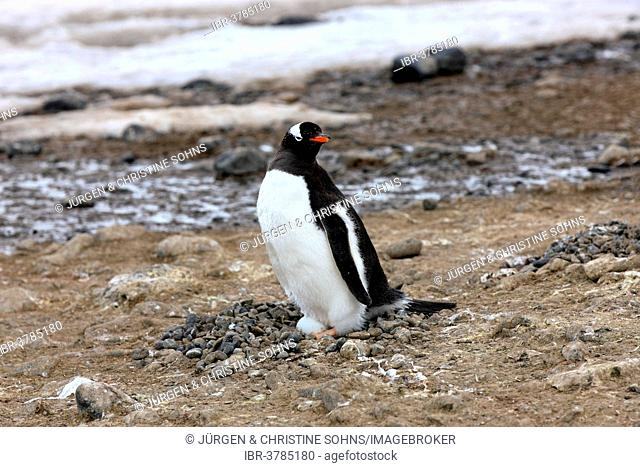 Gentoo Penguin (Pygoscelis papua), on egg, brooding, Half Moon Island, Antarctica
