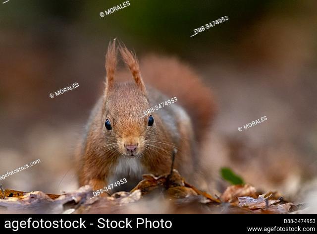 France, Pays de la Loire, Sarthe, Rouesse Vasse, grove, Red squirrel (Sciurus vulgaris)