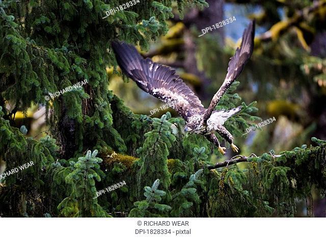 Immature Bald Eagle Haliaeetus leucocephalus