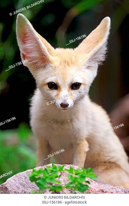 Fennec Fox / Vulpes zerda