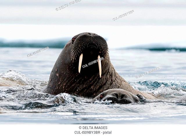 Atlantic walruses (Odobenus rosmarus) swimming in ocean, close up, Vibebukta, Austfonna, Nordaustlandet, Svalbard, Norway