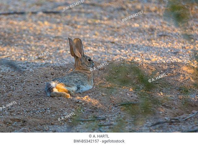 Desert Rabbit, Desert Cottontail Rabbit (Sylvilagus audubonii), lying in hollow, USA, Arizona, Phoenix