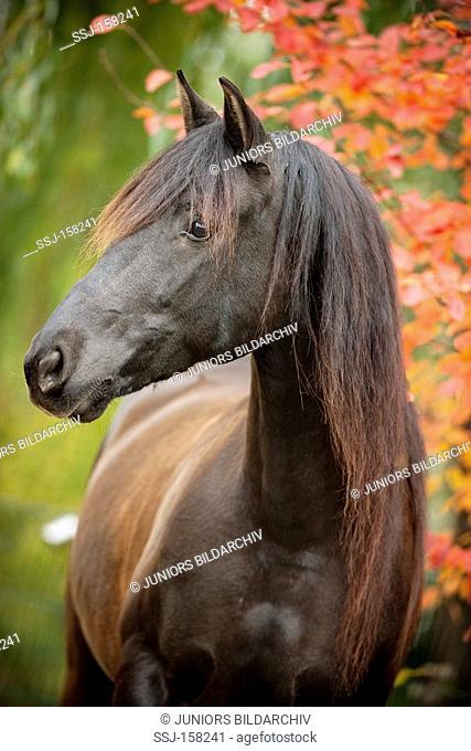 Spanish sport horse - standing