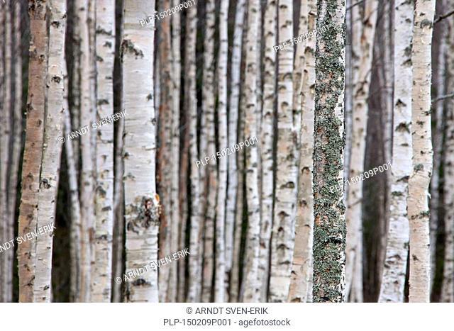 Silver birch / warty birch (Betula pendula / Betula alba / Betula verrucosa) tree trunks of birches in deciduous forest