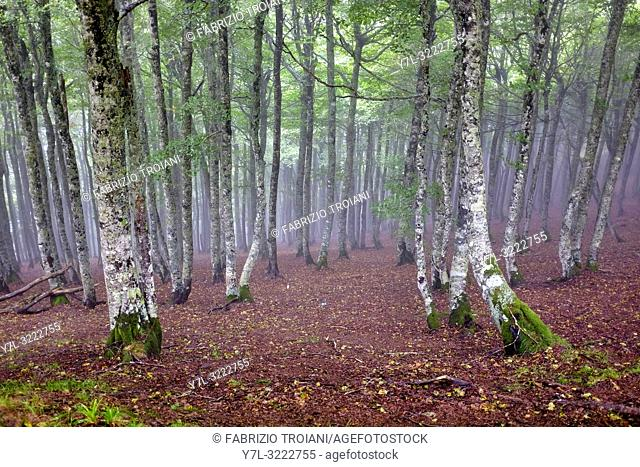 Forest trees near the Col de Bentarte on the Way of Saint James (Camino de Santiago), Arnéguy, Pyrénées-Atlantiques, France