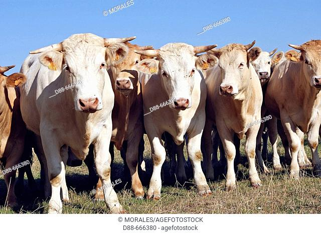 Charolais cattle. Picardie, France