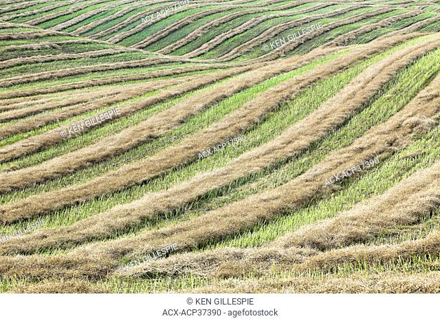 Swathed field and rolling hills at harvest time. Tiger Hills, Manitoba, Canada