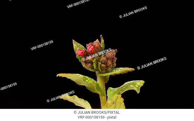 Pulmonaria flowers opening