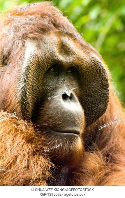 Orang -Hutan of Borneo Sarawak Malaysia