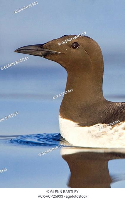 Common Murre Uria aalge swimming on the ocean near Victoria, BC, Canada