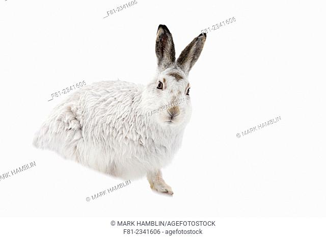 Mountain Hare (Lepus timidus) in white winter coat sitting on snow