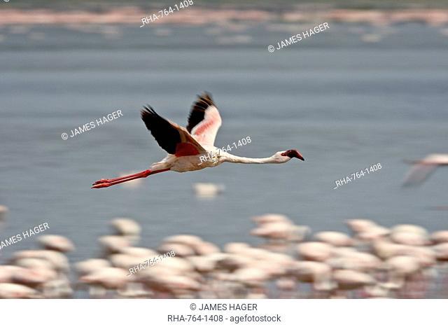 Lesser flamingo Phoeniconaias minor in flight, Lake Nakuru National Park, Kenya, East Africa, Africa