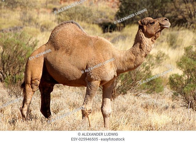 Arabian camel, Northern Territory, Australia