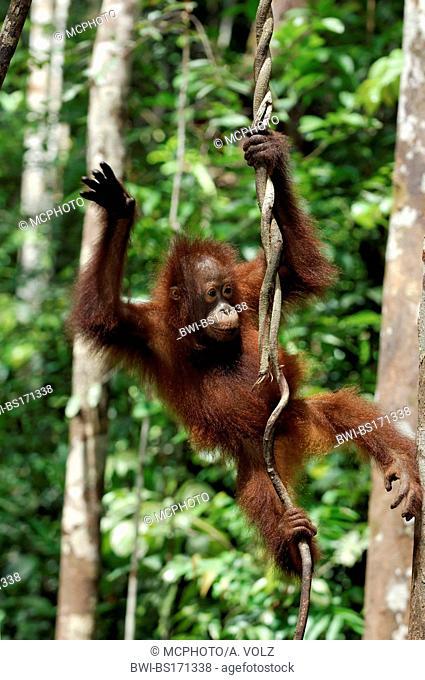 Bornean orangutan (Pongo pygmaeus pygmaeus), baby, Indonesia, Borneo, Tanjung Puting National Park