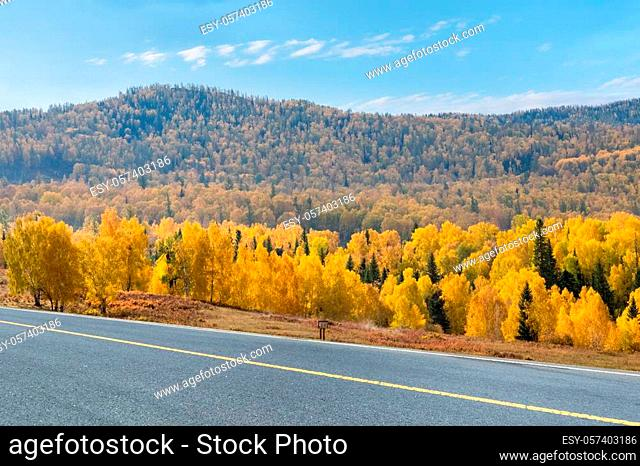 autumn road and boreal forest, xinjiang kanas landscape