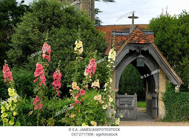 Hollyhocks flowers in Hambleden Village Buckinghamshire UK Late July