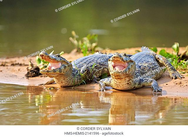 Brazil, Mato Grosso, Pantanal region, Yacare caiman (Caiman yacare), resting on the bank of the river