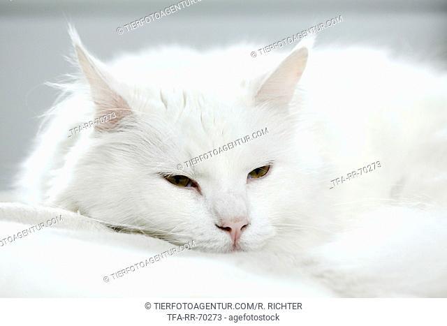 lying Siberian Cat