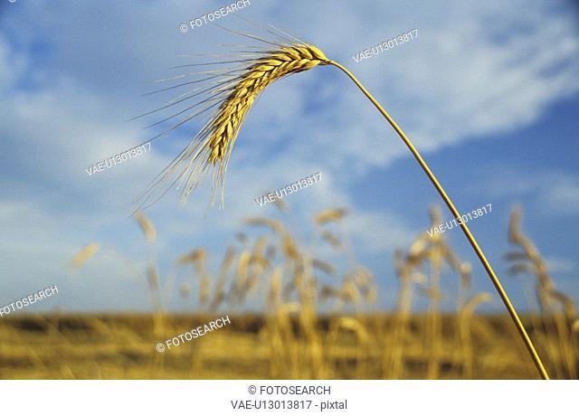 felder, acre, aichner, autumn, barley