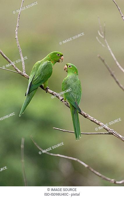 Two white-eyed parakeets