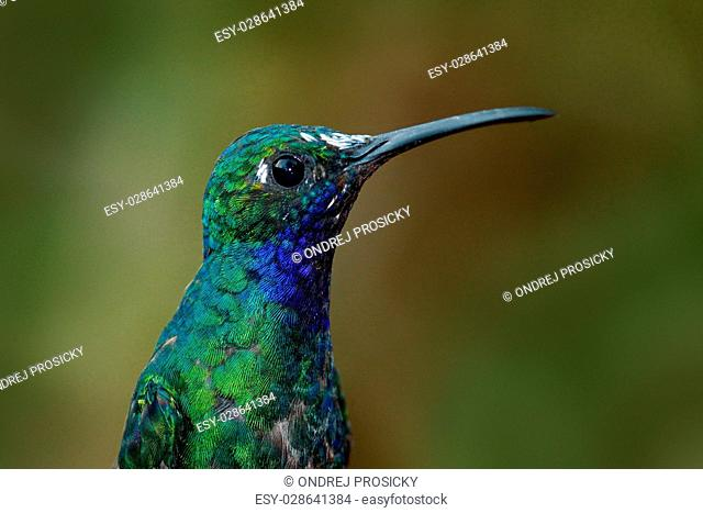 Portrait of hummingbird White-tailed Sabrewing