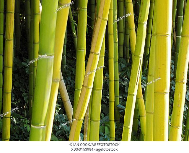 bamboo grove, Latour-Marliac lily garden, Le Temple-sur-Lot, Lot-et- Garonne Department, Nouvelle-Aquitaine, France