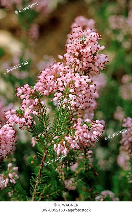 Mediterranean Heath (Erica multiflora), blooming branch